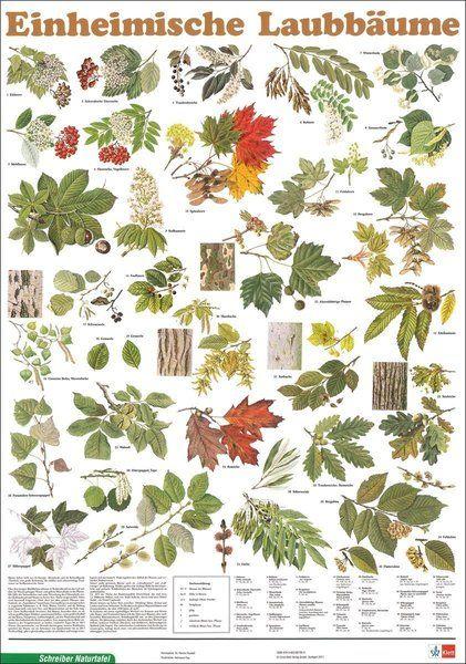 die besten 25 einheimische b ume ideen auf pinterest einheimische pflanzen seelandschaft. Black Bedroom Furniture Sets. Home Design Ideas