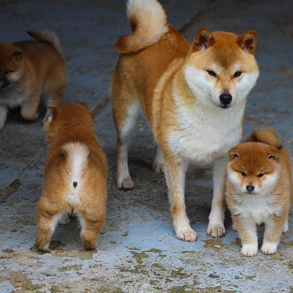 What a beautiful Shiba Inu family. These Shiba Inu puppies are too cute for words!