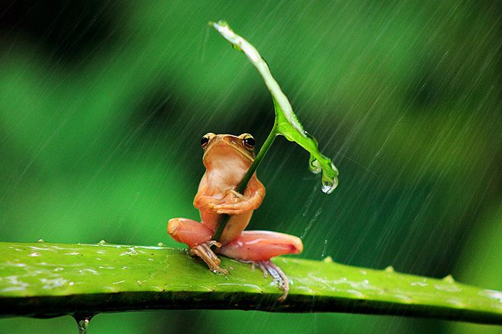27 July 2013. A tree frog clutches a leaf angled towards the rain in Jember, East Java.