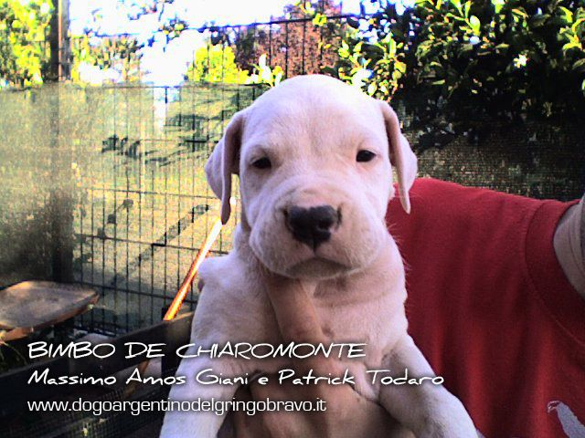 Dogo Argentino Allevamento Del Gringo Bravo - Dogo Argentino - Bimbo de Chiaromonte