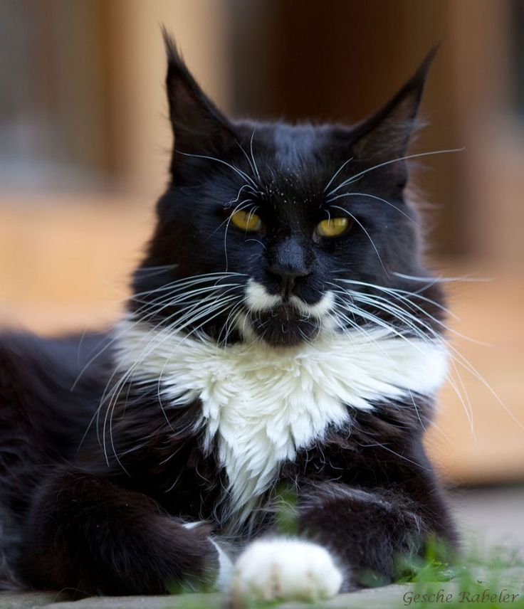 Maine Coon, Black Solid & White (n 09). Summerplace Rising Star