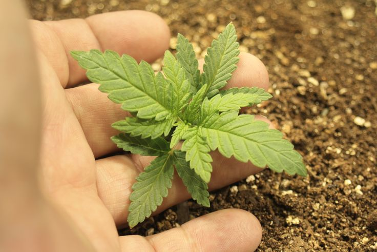 Marijuana Grow 2015 - Seedling Week Three, day 21 - end of week three.