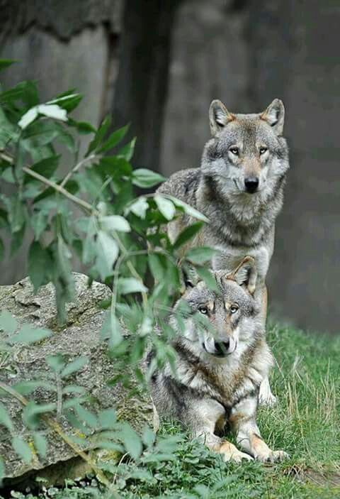 These wolves have kind of gotten boring... Need to find something more interesting