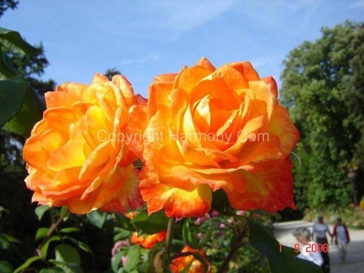 Roses jaune orangé