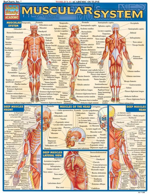 15 best muscular system images on pinterest | muscular system, Muscles