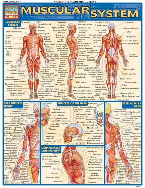 Muscular System. #Psychological #Disorders #hawaiirehab www.hawaiiislandrecovery.com