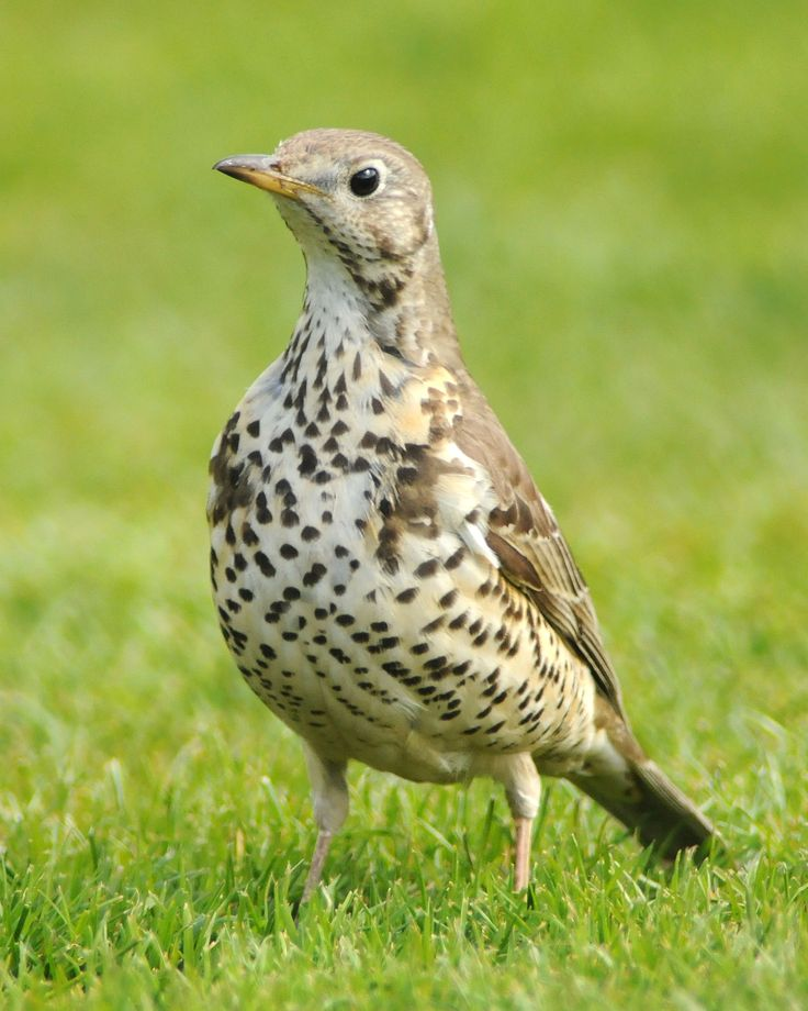 "Turdus viscivorus - Mistle Thrush - another member of the same genus as the ""blackbird"" and the ""robin"""