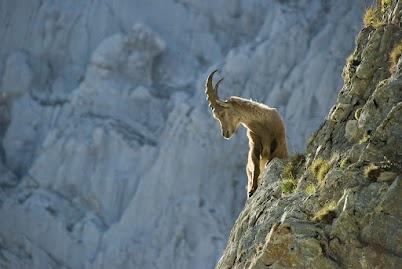 Crazy goat,Tirol, Austria