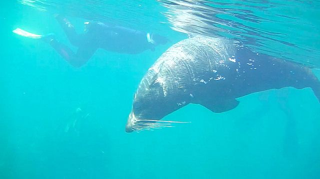 Seal Swim Kaikoura - Up Close and Personal with New Zealand Fur Seals
