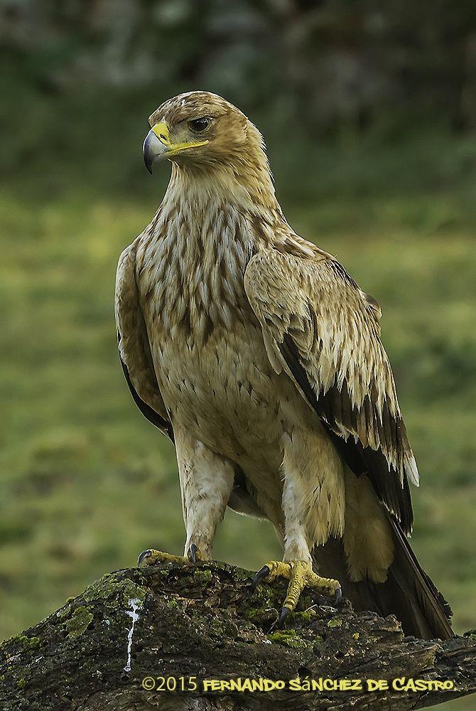 Spanish imperial eagle--Aquila adalberti by Fernando Sanchez de Castro on 500px