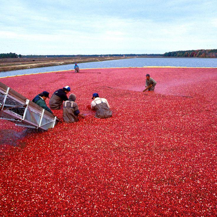 Tőzegáfonya - Cranberry