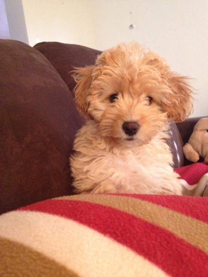 My Cavoodle puppy named Cute puppies Pinterest