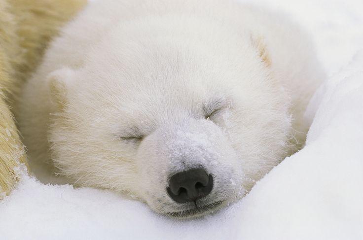 """Norbert Rosing, fotografo e """"papà"""" degli orsi polari » fotografie di Norbert Rosing"""