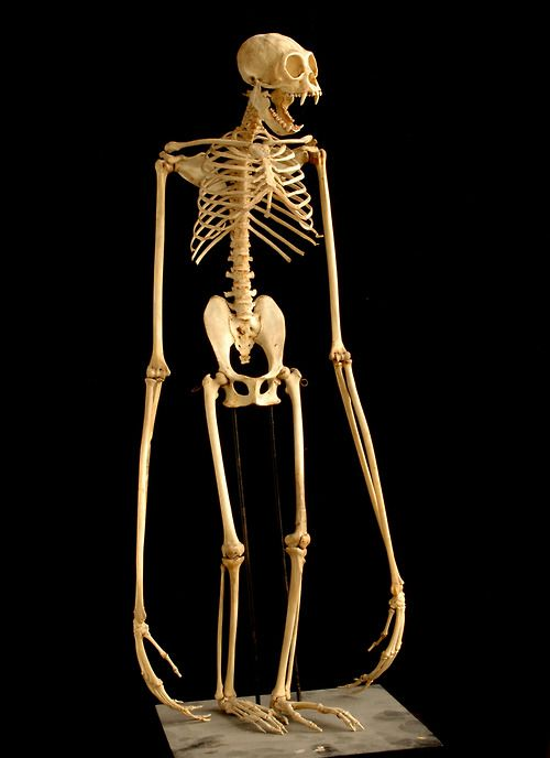 Gibbon skeleton. Fits the proportions I'm going for with my Wendigo character.