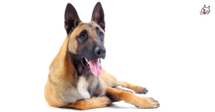 Today, let's read about our protective #Belgian Malinois Puppies! Click & read now: http://puppies4all.com/belgian-malinois-puppies-for-sale/