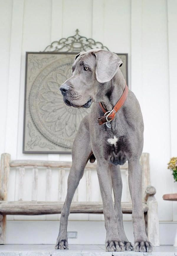 Pin By Deidre Marshall On Cute Things In 2020 Great Dane Puppy