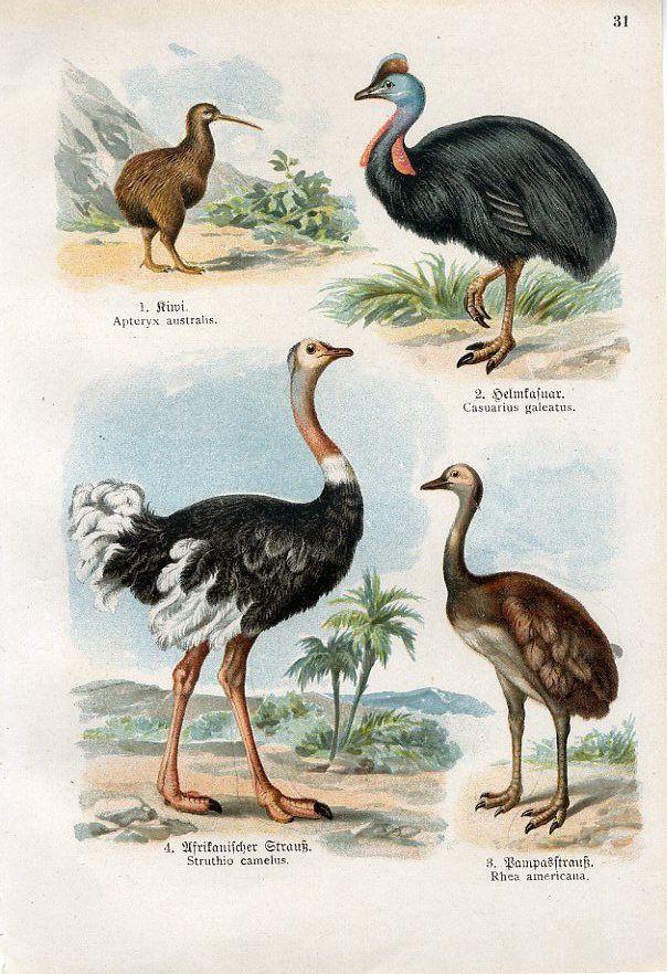 Kiwi Cassowary Ostrich Rhea Birds Print, 1900