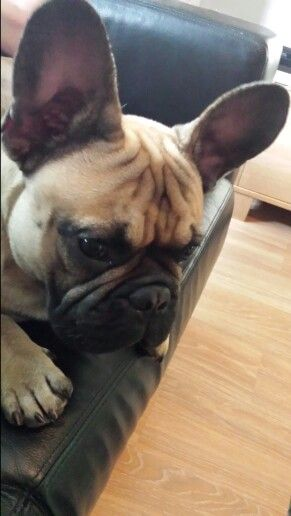 """""""I'm totally focushed""""... """"on what, I don't know"""", TJ the French Bulldog"""