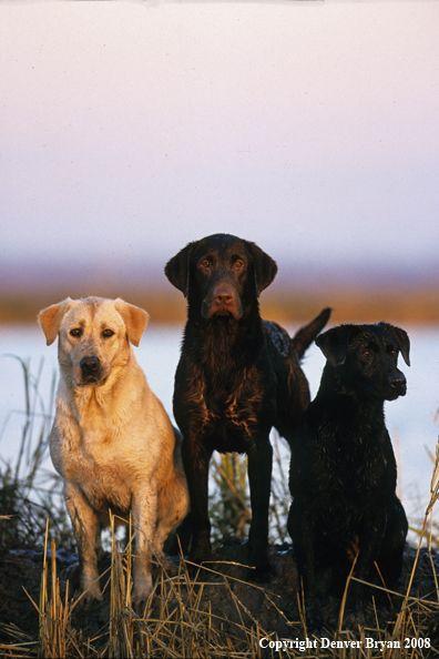 Labrador Retrievers by Denver Bryan