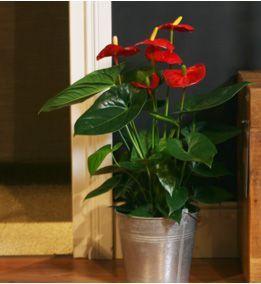 Anthurium Scherzelanum