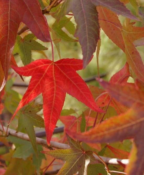 Liquidambar styraciflua autumn colour