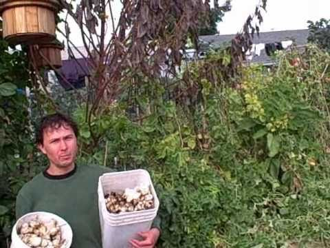 Harvesting 25 Pounds of Jerusalem Artichokes from 2 Plants