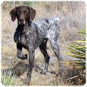German Shorthair Pointer, a versatile, all-purpose dog, capable of being a family companion, a personal hunting dog or competitor in the field and ring, posted by Doug & Lee Bruning, via mustangcreekkennels.com