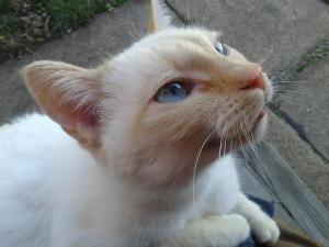 Chance is an adoptable Domestic Short Hair - Buff Cat in St. Louis, MO. DOB approx Fall 2008 ~ Chance is a beautiful blue-eyed Flame-Point Siamese mix. And she has the personality to go with it! Chanc...