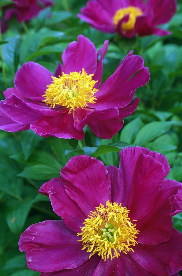 Pianese Flowers Photograph