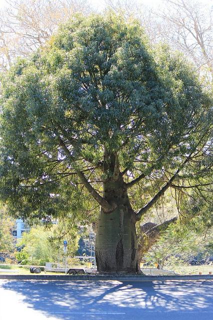 Brachychiton rupestris / Queensland bottle tree by tanetahi, via Flickr