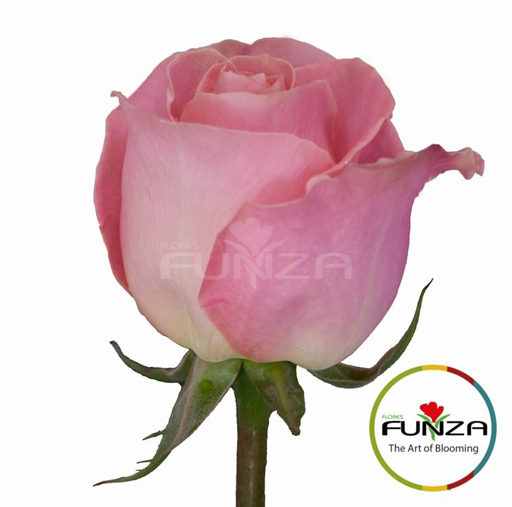 Pink Rose from Flores Funza. Variety: Hermosa, Availability: Year-round