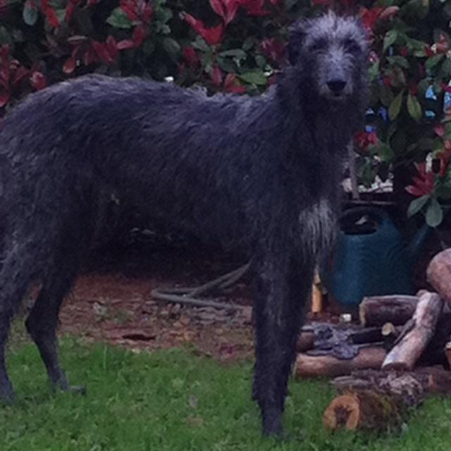 scottish deerhounds to download irish wolfhounds scottish deerhounds ...