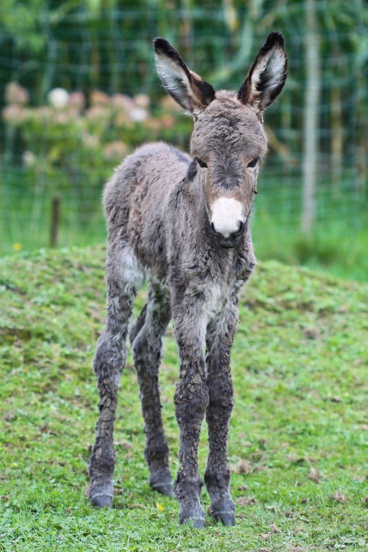1 day old and standing tall! | Donkeys | Cute donkey ...