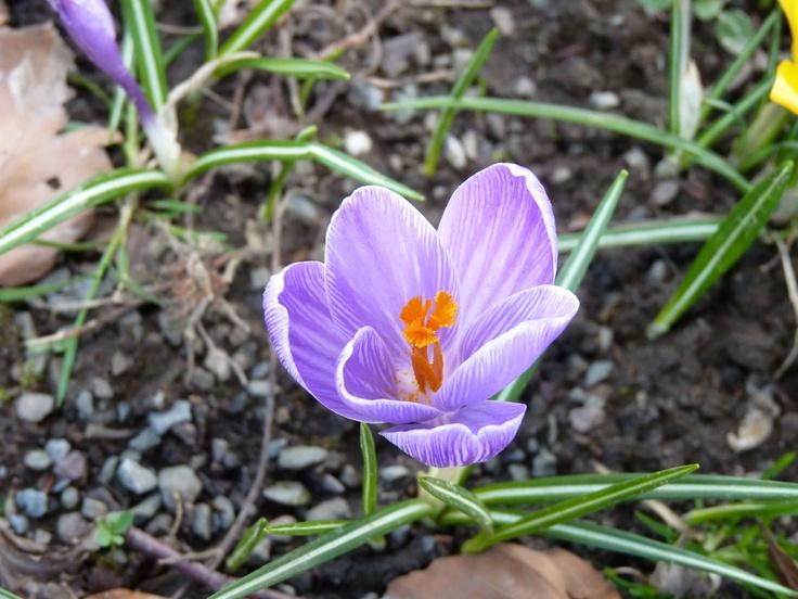 #flower #krokus #crocus
