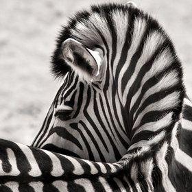 Zebra  BEAUTIFUL!!!!!