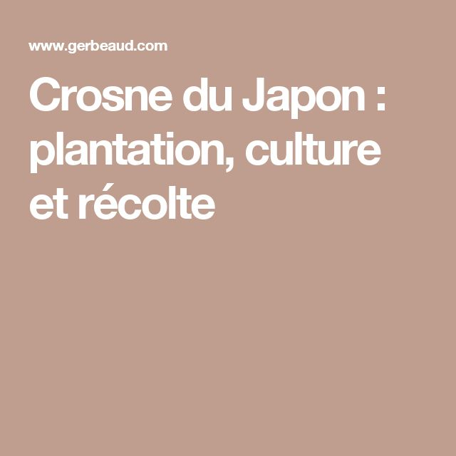 Crosne du Japon : plantation, culture et récolte