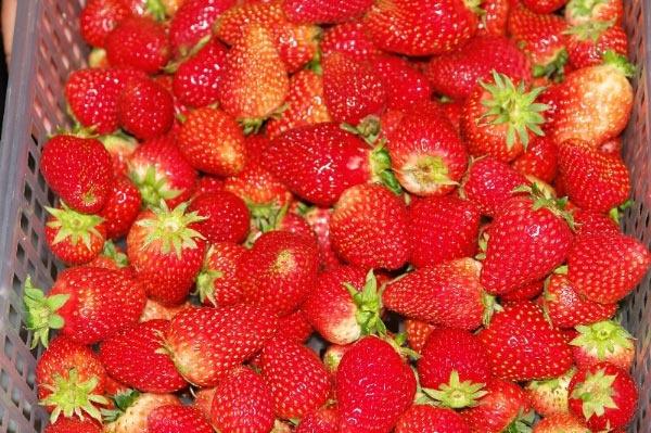 Fresh strawberries from Christmas Hills Raspberry Farm Cafe.  Photo by Dan Fellow for www.think-tasmania.com