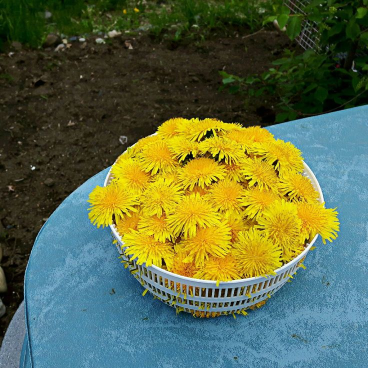 Harvesting dandelion from our yard for some dandelion soap! 😊