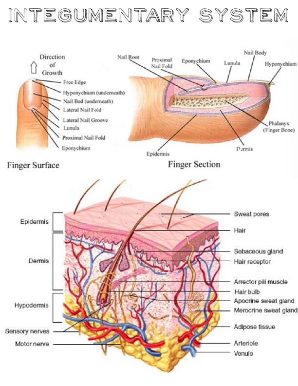 a look at the integumentary system in the human body and its function Integumentary system organs protection of the body is a principal function of the integumentary system its organs form a waterproof glands in the human body.
