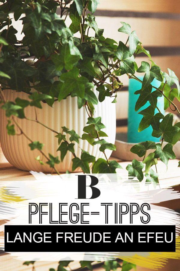 Efeu-Pflege: Tipps für eine prächtige Zimmerpflanze | Balkon ...