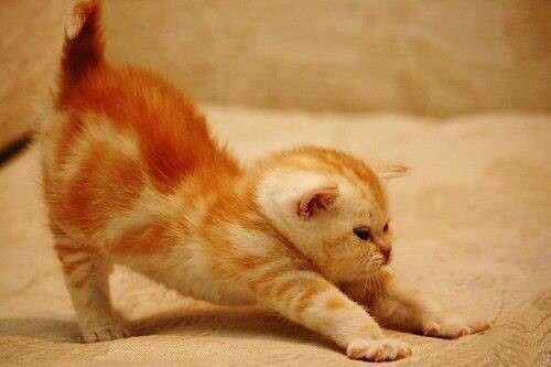 Kitty nearly doing downward facing dog, just a bit more practice......!