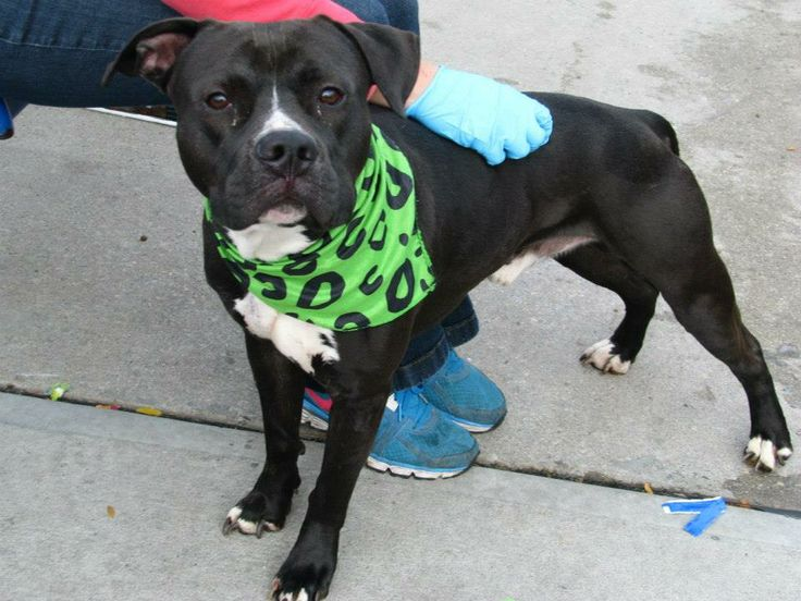 TO BE DESTROYED 11/18/13  Brklyn Ctr  RALPHY A0984411 MALE  BLK/WHT  PIT BULL MIX 1 yr 6 mos STRAY  Broken blood vessels in right eye, bruise & some swelling on top of head, left side of mouth has wounds & swollen broken right K9. Owner arrested-who knows what it's been like for this sweet boy. Did AMAZING during behavior exam! Sociable, calm & relaxed during testing. Ralphy needs a change in the road his life has been taking. Can you be his GPS to get him on the road to a loving forever…