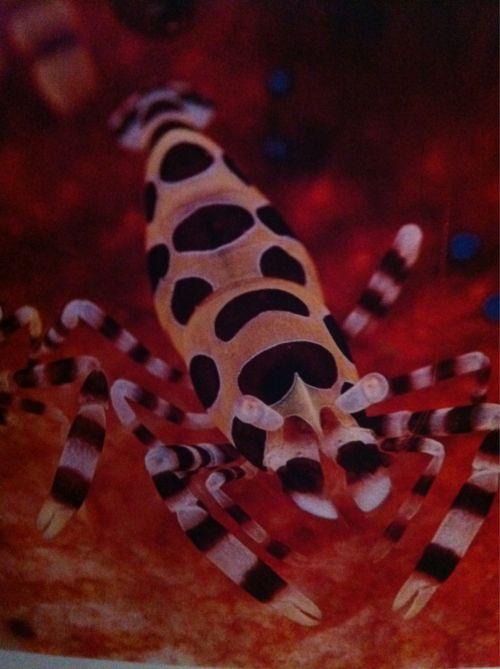 Coleman shrimp