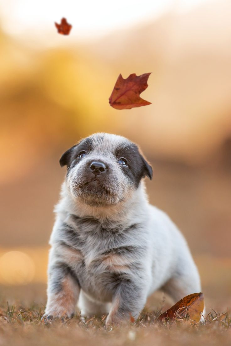 A round and pudgy puppy sits entranced by the wonders of autumn. Another cute little guy. Well, what puppies aren't?