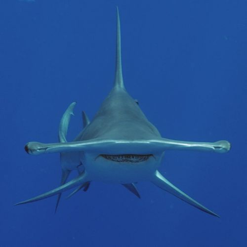 Face on with a Great Hammerhead Shark