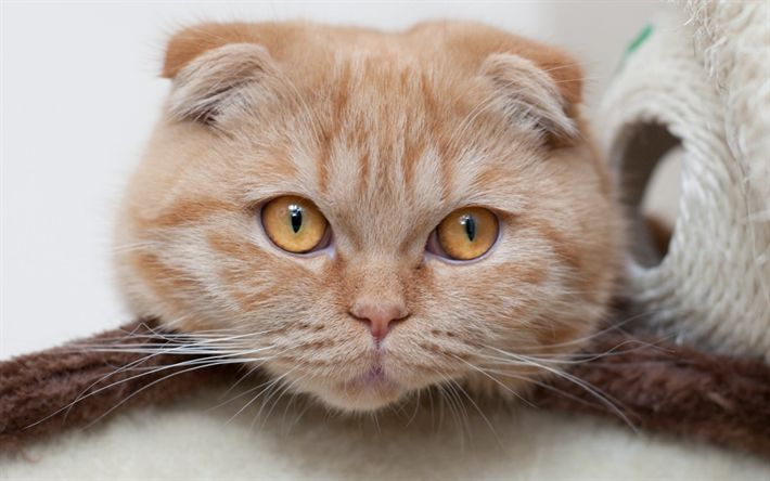 Download wallpapers Scottish Folded Cat, portrait, ginger cat, domestic cats, British breeds of cats