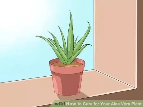Image titled Care for Your Aloe Vera Plant Step 1