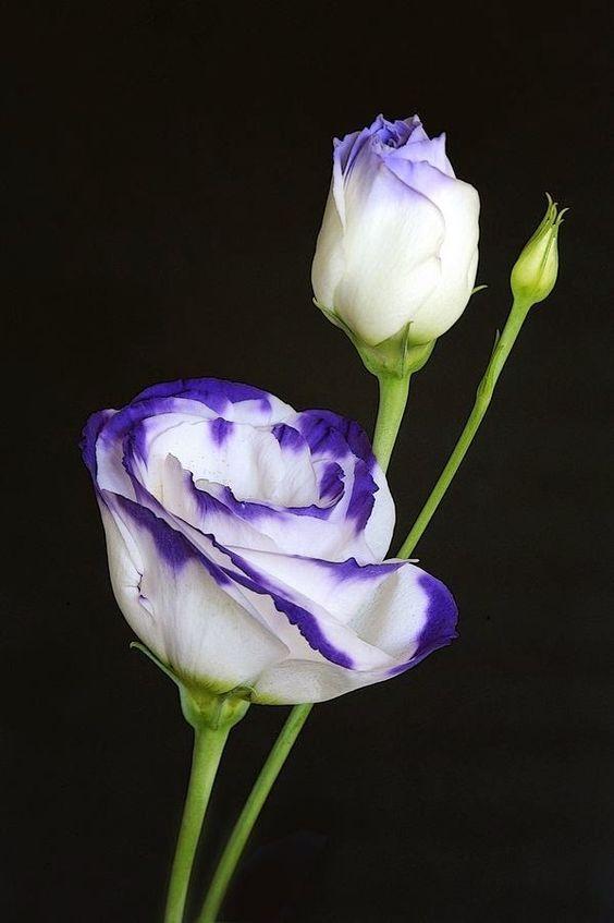 Rose;lively blue & white.