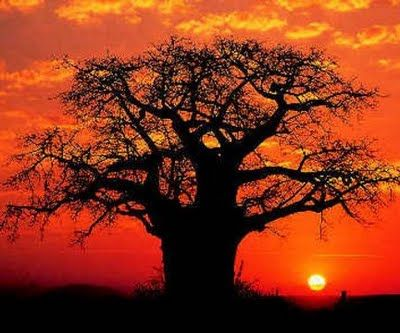 African sunset behind an amazing Baobab tree