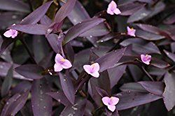 How to grow Purple Heart Plant indoors. Caring for Tradescantia pallida is easy and its bunches of rich purple foliage make it a beautiful house plant.